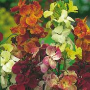 Wallflower My Fair Lady mix - 1500 seeds